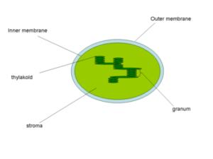 Chlorofyl